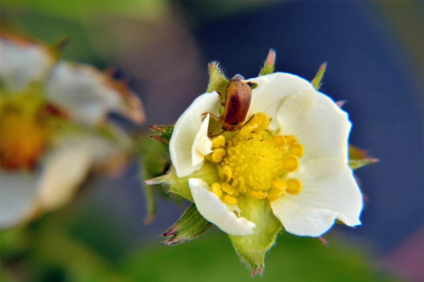 Giftfri odling kan försämra pollineringen av grödor