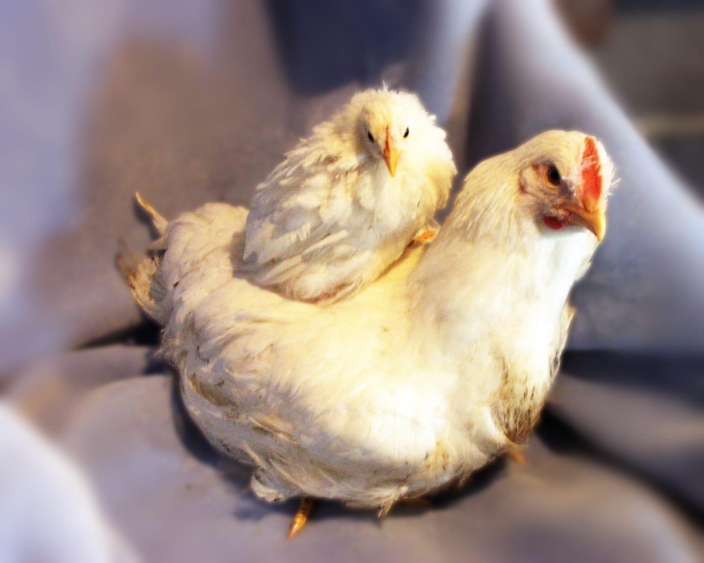 Forskare finner svar i genetiken hos snabbväxande kycklingar
