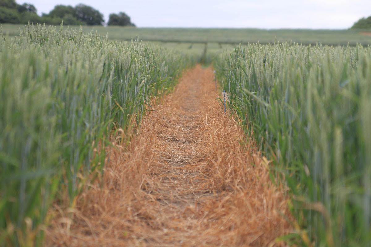 Tåliga vetesorter genom effektivare metoder ska klara extremt klimat