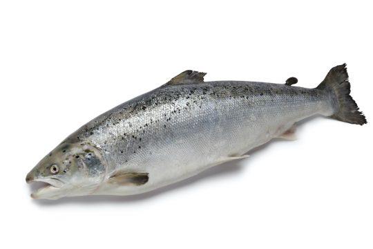 Östersjölaxens storlek och ursprung styr dess utbredning till havs