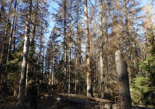 Granbarkborrar i skyddad natur påverkar inte granbarkborreutbrott i stort