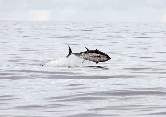 SLU-forskning ska hjälpa den blåfenade tonfisken